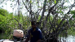 preview picture of video 'Collecting ants in mangroves, Madang lagune, PNG'