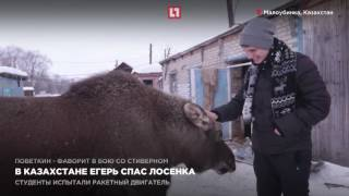 В Казахстане егерь спас лосенка