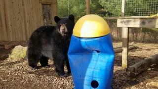 Paws & Claws Week - Black Bears!