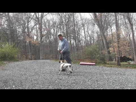 Zeb | Brittany Spaniel Puppy Training Winston Salem NC