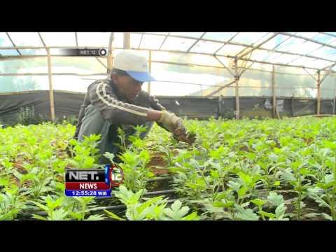 Video Budidaya Bunga Krisan di Pasuruan - NET12