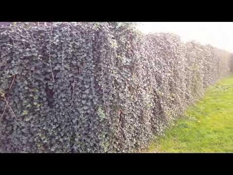 Efeu - Hedera helix massenhaft in kurzer Zeit vermehren