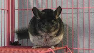 Adorable chinchilla eating a nut, dropping it, cleaning its mouth, and licking fingers
