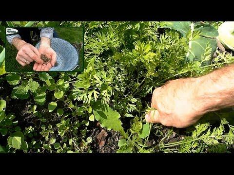 Der Samen lna für die Abmagerung, wie den Leinsamen zu übernehmen