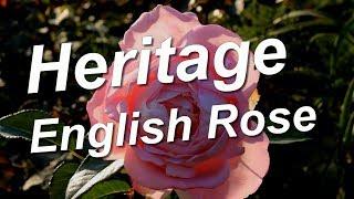 Heritage Rose, English Roses
