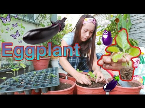 , title : 'EGGPLANT || HOW TO GROW EGGPLANT FROM SEED || FARMING || ADING VLOGS
