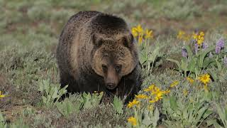 Wildlife Photography-Grizzly Blondie's subadult walks up to the truck-Jackson Hole/Grand Teton Park