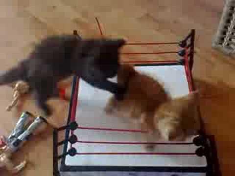 好激烈的貓咪摔角大賽!萌翻了!