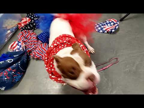 ZOEY, an adoptable Pit Bull Terrier & Staffordshire Bull Terrier Mix in Phoenix, AZ