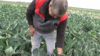 Visit Lancashire: Growing Cauliflower
