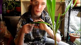 How to grow a coconut indoors