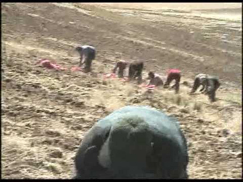 Maca: Fuente de Vida y Energía de Perú Para el Mundo