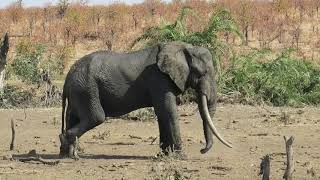 Botsotso  - Current Tusker in Kruger National Park