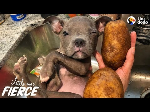 Tiniest Puppy Loves His Pack Of Pit Bulls | The Dodo Little But Fierce