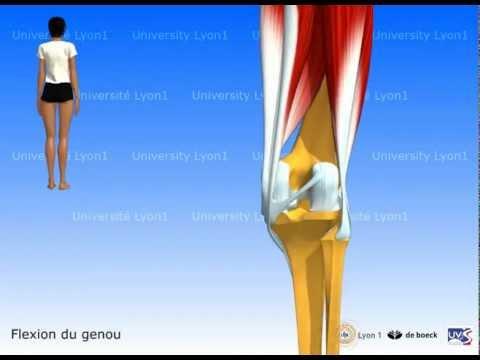 Les poussées pour les plus larges muscles