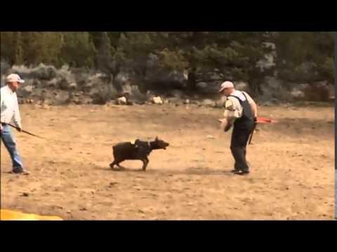 CH MAYLI Schutzhund IPO