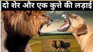 शेर और कुत्ते की लड़ाई||Best Animals Fight
