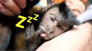 Capuchin Monkey Nap Time Routine!