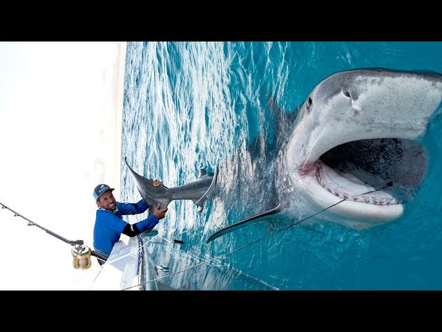 Massive 1000lb Tiger Shark caught while Bottom Fishing in the Bahamas - 4K