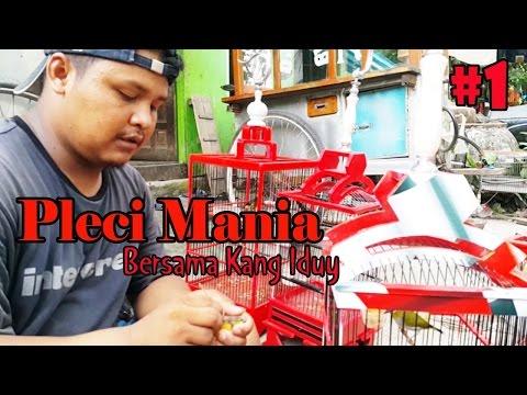 Video PLECI MANIA : Kupas Tuntas Perawatan Harian dan Lomba Burung Pleci Bersama Kang Iduy Aa' Siomay #1