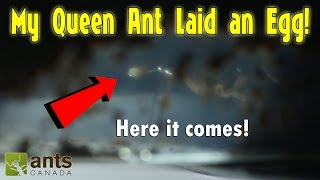TRAP-JAW QUEEN ANT LAYING AN EGG! (AMAZING FOOTAGE)