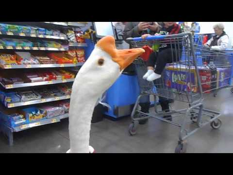 Guy walks into Walmart talking as loud as possible while clutching his pet goose.