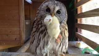 フクロウの可愛い食事風景と鳴き声 /Cute owl meal scenery and cry | Kholo.pk