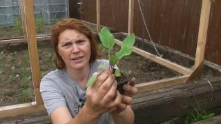 Planting Out Cauliflowers - Part 503 - Claires Allotment