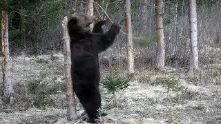 Bears dancing and showing their skills