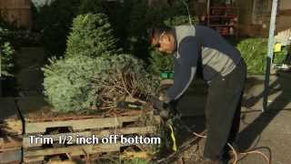 5 Essential Christmas Tree Care Tips (Video)