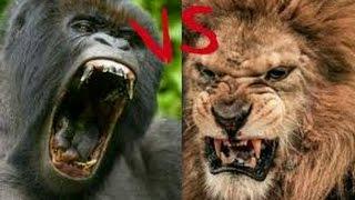 gorila vs lion who will win !!!!!!!!