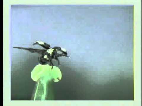 オジロアシナガゾウムシの飛翔