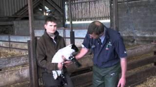 Basic lamb care