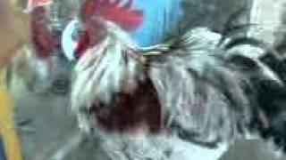 preview picture of video 'ayam gila dengan kaca.3GP'