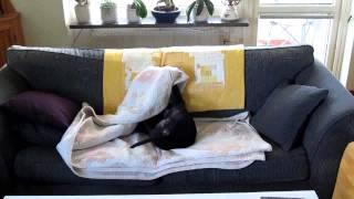 Megan, en helt vanlig Staffordshire terrier.