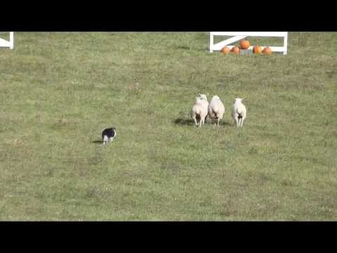PT 1 – 2013 National SheepDog Trials – Amazing dogs !!