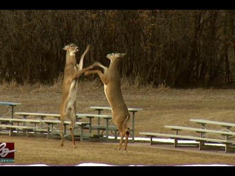 Deer Battle