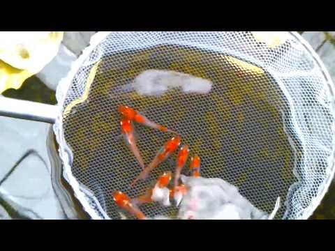 琥珀三色透明鱗錦メダカ