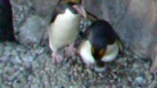 Macaroni Penguins at Living Coasts Torquay