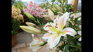 Our top 10 lily varieties, including giant tree lilies! and how to plant them in borders or pots