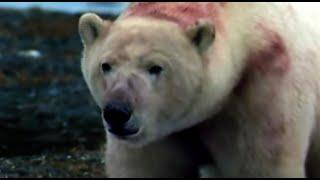 Blubber Massacre   Polar Bear Battlefield   BBC