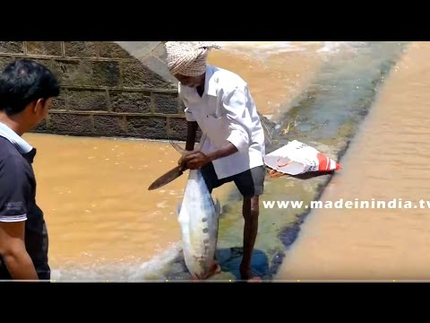 COOKING A BIG SINGLE FISH CURYY IN VILLAGE | FRESH FISH RECIPE COOKED SINGLE PIECE
