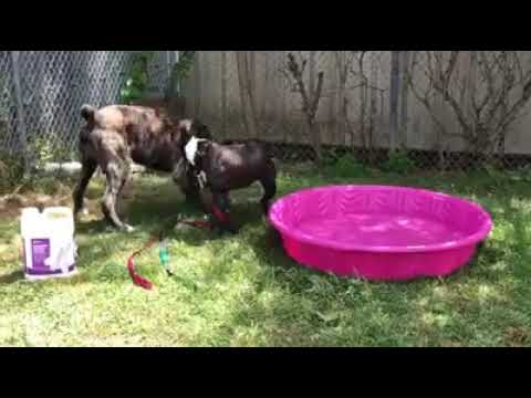Miguel, an adopted Mastiff & Cane Corso Mix in Syracuse, NY