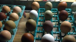 Hatching Chicks in an Incubator - From Start to Finish!