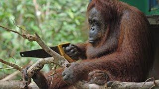 Robot Orangutan Vs Wild Orangutan Sawing Duel