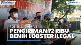 72 Ribu Benih Lobster Ilegal Berkedok Sayuran Diciduk di Bandara Soekarno-Hatta