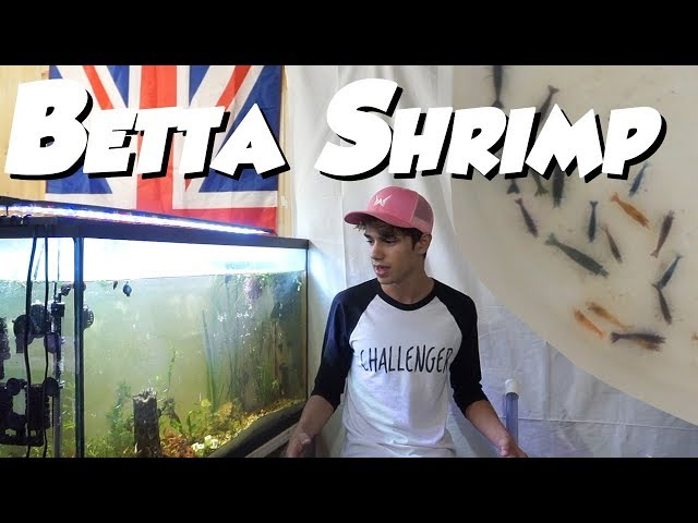 9 Betta Fish and 30 SHRIMP IN ONE AQUARIUM!
