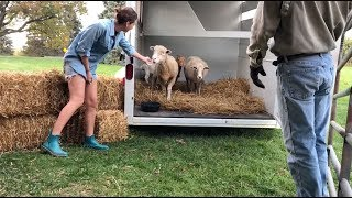 3 Goats and 2 Sheep Rescues Arrived Safe at Barn Sanctuary