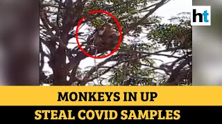 Monkey steals blood samples suspected to be of Covid patients in UP's Meerut  INDIAN DESIGNER LEHENGA CHOLI PHOTO GALLERY   : IMAGES, GIF, ANIMATED GIF, WALLPAPER, STICKER FOR WHATSAPP & FACEBOOK #EDUCRATSWEB
