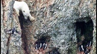 Un ours polaire affamé risque sa vie ! - ZAPPING SAUVAGE